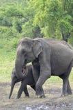 Elefant, der auf Wiese spielt Lizenzfreie Stockfotos