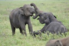 Elefant, der auf Wiese spielt Stockbilder