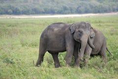 Elefant, der auf Wiese spielt Lizenzfreies Stockfoto