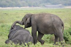 Elefant, der auf Wiese spielt Lizenzfreies Stockbild