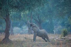 Elefant, der ausdehnt, um die Samen zu erreichen stockfotos