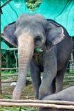 Elefant, der Blätter isst Stockfotos
