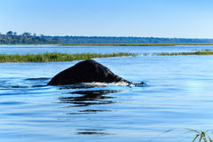 Elefant, der Chobe-Fluss Botswana Afrika schwimmt Lizenzfreies Stockbild
