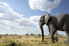 Elefant, der in den Busch geht stockbilder