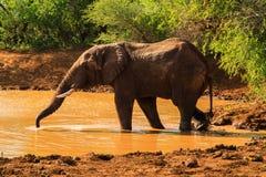 Elefant, der an der Wasserstelle trinkt stockfotografie