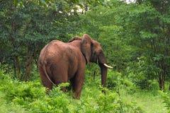 Elefant, der in die Bürste geht Lizenzfreies Stockfoto