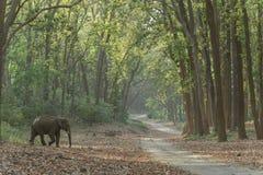 Elefant, der die Hauptstraße unter den Saal-Bäumen kreuzt stockbild