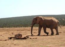 Elefant, der durch eine Karkasse überschreitet Stockfotografie
