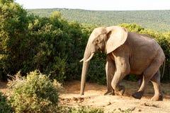 Elefant, der einen Spaziergang schaut so einsam macht Stockbilder