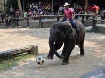 Elefant, der Fußball spielt stockfotografie