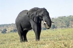 Elefant, der Gras isst Stockbild