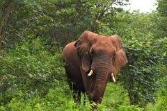 Elefant, der Gras isst Stockfotografie