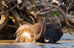 Elefant, der im Fluss Sambesi badet sambia Senken Sie Nationalpark Sambesis Der Sambesi Lizenzfreie Stockbilder