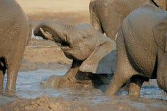 Elefant, der im Schlamm liegt Stockfotos
