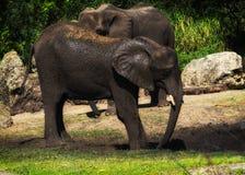 Elefant, der im Schlamm spielt lizenzfreies stockbild