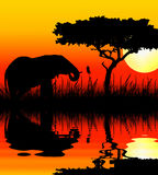 Elefant, der im Sonnenuntergang trinkt Lizenzfreie Stockfotografie