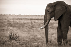 Elefant, der kleinen Vogel gegenüberstellt Stockfotos