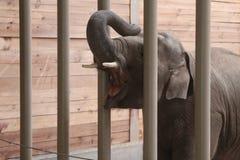 Elefant, der in Kolmården-Zoo, Schweden einzieht stockbild