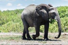 Elefant, der langsam geht stockbild