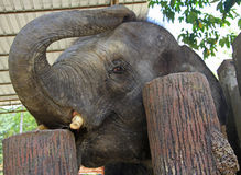 Elefant in der nationalen Erhaltungs-Mitte Kuala Gandah lizenzfreie stockfotos