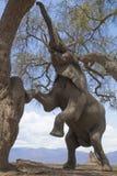 Elefant, der oben Baum klettert Stockbilder