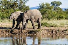 Elefant, der am Rand einer Wasserstelle im Park trinkt stockfoto