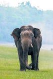 Elefant, der in Richtung zur Kamera auflädt Lizenzfreies Stockbild
