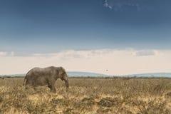 Elefant, der in Savanne mit Sonnenlicht geht naphtha afrika stockfotografie