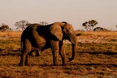 Elefant, der Schlamm auf sich schleudert lizenzfreie stockfotos