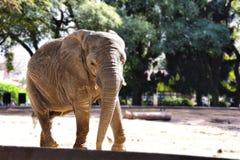Elefant, der sehr bequemes aufwirft Stockfotos