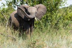 Elefant, der seinen Stamm vorführt stockbild