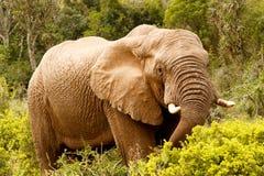 Elefant, der unten mit seinem Stamm ausdehnt Lizenzfreie Stockbilder