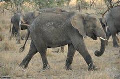 Elefant, der unter andere Elefanten geht Lizenzfreie Stockbilder