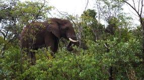 Elefant in der Vegetation lizenzfreie stockfotos