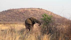 Elefant, der vom Baum einzieht stock video footage