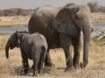 elefant dess valp Royaltyfria Bilder