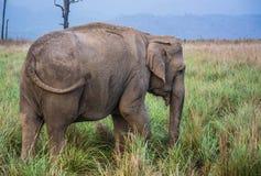 Elefant in Dikala stockbilder