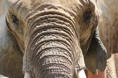 Elefant. Elephant closeup , very old one Royalty Free Stock Photos