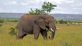 Elefant Royalty Free Stock Photo