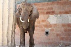 Elefant Royalty Free Stock Images