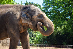 Elefant, Elephantidae Royalty Free Stock Images