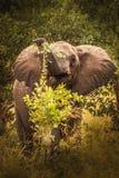 Elefant en el pantano del parque nacional Kenia la África del Este de Amboseli fotos de archivo libres de regalías
