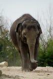 Elefant en parque zoológico Foto de archivo