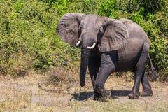 Elefant - enstöring i den Chobe nationalparken Royaltyfri Foto