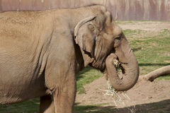 Elefant-Essen Lizenzfreie Stockfotografie