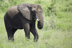 Elefant-Essen lizenzfreie stockfotos