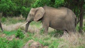 Elefant för afrikanska grå färger som äter grönt gräs i skuggan av ett träd lager videofilmer