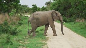 Elefant för afrikanska grå färger som korsar den dammiga vägen i afrikansk savannah stock video