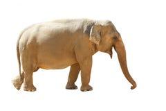 elefant för asiat 2 Royaltyfri Fotografi