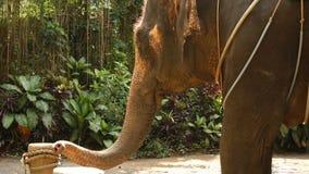 Elefant för ultrarapidsemesterfirareskytte för personligt arkiv lager videofilmer